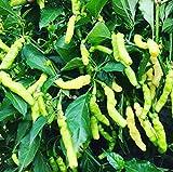 Aribibi Gusano Chili Weiß 10 Samen -Lustige Chili-Sorte-