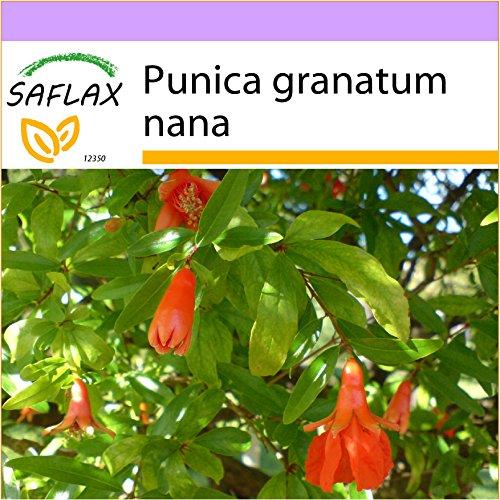 SAFLAX - Granado enano - 50 semillas - Punica granatum nana