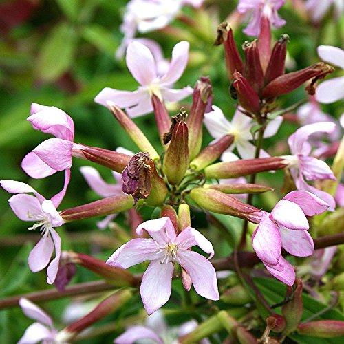 RWS Saponaria - saponaria officinalis - ornamentales u. Plantas medicinales - 200 semillas
