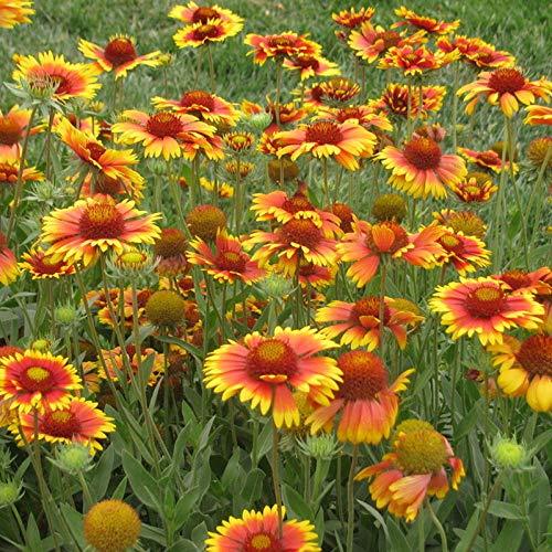 XINDUO Graines De Printemps Vivaces,Plante de Paysage Gaillardia graines de fleurs-1kg,pour Le Jardin Graines
