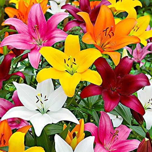 Terrassen-Lilien Mix\'Lambada\' Ø 12/14-5 Stück Blumenzwiebeln, Direkt von holländischem Boden