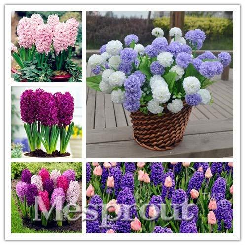 HONIC New Gartenhyazinthe Bonsai Günstige Hyacinth Bonsai, Hyazinthen Topf Bonsai, Bonsai Balkon Blume für Hausgarten-50PCS: Mix