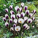 Bulbos de Azafrán,Bulbo De La Planta,Muy Buen Crecimiento,Hermosas Flores,Vale La Pena Plantar-8 Bulbos,1