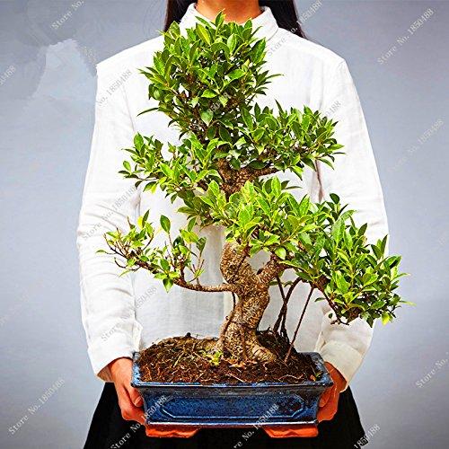 Bureau Bureau lobulaire Banyan Tree Seed vivace Bonsai vert Arbuste Arbre Graine de bricolage jardin Aménagement paysager décoratifs 20 PCS