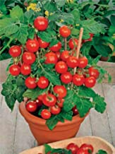 Seeds Rare Tomato Indoor Pot Red Early Vegetable Organic Heirloom Ukraine