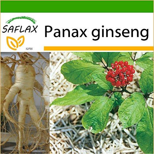 SAFLAX - Ginseng - 10 Samen - Mit keimfreiem Anzuchtsubstrat - Panax ginseng