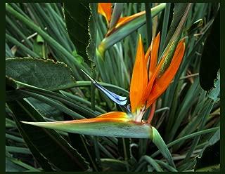 Bird of Paradise live 1-2 ft plant orange blue flower Strelitzia reginae