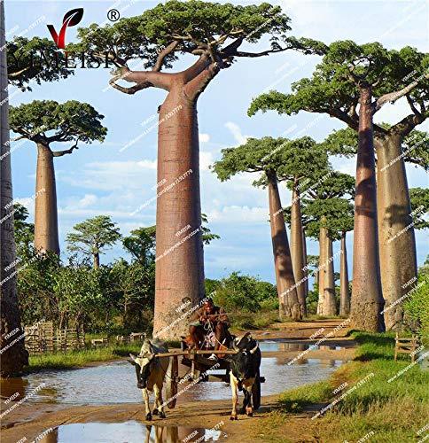 AGROBITS Adansonia digitata Baobab Graines Rare Fruits extérieur Arbre semences vivaces 5Pcs