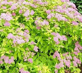 1 Goldmound Spirea Japonica Live Plant 3 Gallon Pot