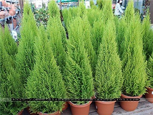100pcs árboles de coníferas Cypress Platycladus orientalis semillas FPR semillas del árbol...
