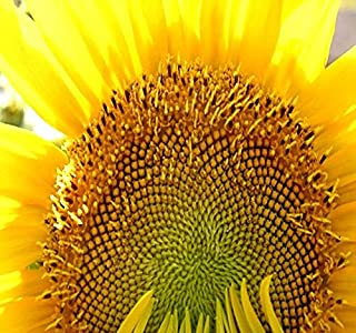 1 lb (4,700+ Seeds) Mammoth Grey Stripe Sunflower (Helianthus annuus) - 9-12 Feet Tall Extended Bloom - Non-GMO Seeds by MySeeds.Co (1 lb Grey Stripe Sunflower)