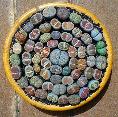 200 Succulente misti semi- Lithops Semi, Pietra Grezza Cactus semi Gambi Fiori in vaso