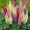 Russell Lupin graines mélangées 30+ graines de fleurs de plantes lupin vivaces colorées pour la plantation de jardin et de jardin facile à cultiver #3