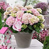 Hydrangea macrophylla   Music Collection®'Soft Pink Salsa'  Pink Hydrangea   Hardy   Height 25-35cm   Pot-Ø 23cm