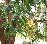 Portal Cool 100 Semillas: Pistacia Atlantica, pistachos Pistache árbol natural semillas frescas comestibles