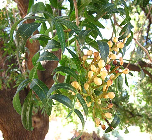 Portal Cool 100 Semillas: Pistacia Atlantica, pistachos Pistache árbol natural