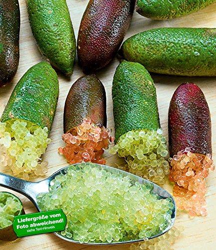 BALDUR-Garten Kaviar-Limette, 1 Pflanze Fingerlimette Microcitrus australasica