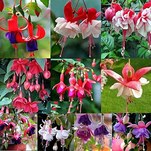 50 Stks Mooie Fuchsia Bloem Zaden, Gouden Klok Thuis Tuin Yard Plant Ornament multi