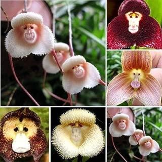 Flower Seeds, Plant Seeds, YESZ 100/200Pcs Adorable Monkey Face Orchid Seeds Garden Plant Flower Bonsai Decor - 200pcs Monkey Face Orchid Seeds