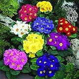 Lankfun Balcón Primavera Flores,Plantas Ornamentales de Semillas de prímula, Flores de jardinería fáciles de Plantar-Mezcla de Colores_600,Maceta para Plantas de jardín/Interiores