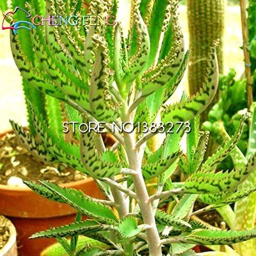 Promotion !!! 100pcs Rarest Phoenix Graines Plantes ornementales Jardin Livraison gratuite