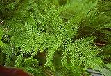 Asklepios-seeds® - 25 Semillas de Asparagus setaceus...