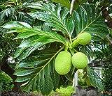 La quantità del pacchetto è 10557 Vendiamo solo semi Semi ad alto tasso di germinazione La restituzione della merce non è disponibile 5Pcs Artocarpus Incisa Semi Frutta Bonsai Seedss Decor Garden