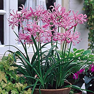 Raflesa Nerine Lily (Bulbs) A K A,Guernsey Lily, Jersey Lily, Spider Lily Ideal for Pots and Planters,Elegant Cut Flowers (12 Bulbs/Plant/Root)