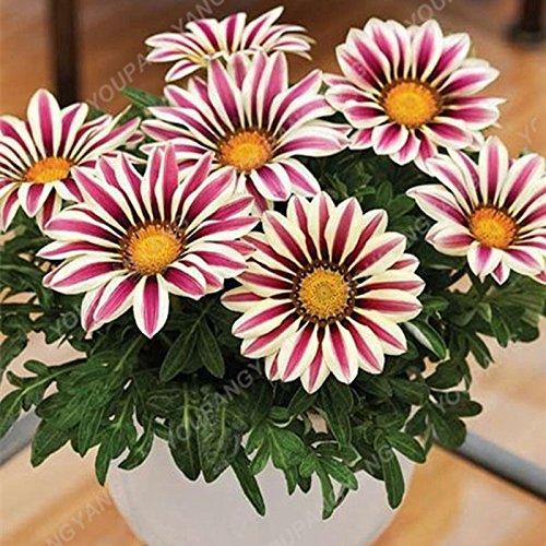 Livraison gratuite 200pcs/sac arc-en-chrysanthème Graines Bonsai Belles graines de fleurs rares fleurs bricolage jardin Plantes Fleurs 20