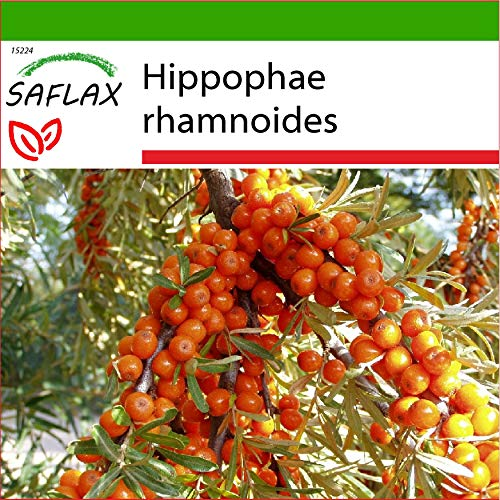 SAFLAX - Heilpflanzen - Sanddorn - 40 Samen - Mit keimfreiem Anzuchtsubstrat - Hippophae rhamnoides