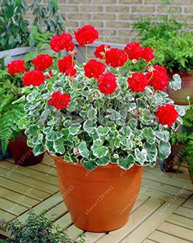 100 pcs/Sac de graines de Géranium Rare Semences Pelargonium vivaces Fleur Hardy Plante d'intérieur Plante en Pot pour Maison Jardin Show in Picture 10