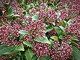 Japanische Blütenskimmie, Skimmia japonica, Pflanze 5-10cm