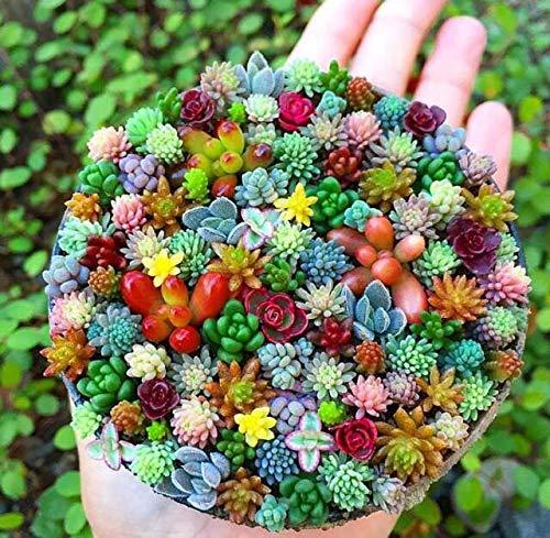 AIMADO Samen-100 Pcs Sukkulenten Samen Mix, verschiedener winterharter Arten und -Sorten, Immergrüne pflanzen für Garten Zimmer Balkon Topf Bonsai