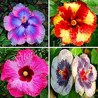 Brand New! 2017 new arrivals 100 Seeds Giant Hibiscus Exotic Coral Flowers Mix Rare Colors