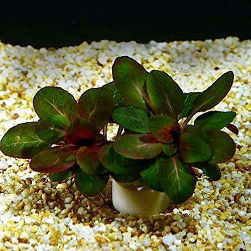 Aquarium Fan Zwerg-Kardinalslobelie/Lobelia cardinalis Mini - 3 Bund