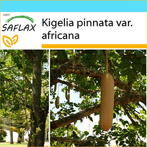 SAFLAX - Geschenk Set - Leberwurstbaum - 10 Samen - Mit Geschenk- / Versandbox, Versandaufkleber, Geschenkkarte und Anzuchtsubstrat - Kigelia pinnata