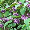 ムラサキシキブ(紫式部):コムラサキ 5号鉢【品種で選べる花木苗/1個売り】学名:Callicarpa dichotoma/シソ科(クマツヅラ科)ムラサキシキブ属/落葉低木●ムラサキシキブは紫の実の色鮮やかな美しさを、平安の美女、紫式部にたとえられている花木です。紫式部として庭植えされているもののほとんどがこのコムラサキです。樹高1.2~2mの低木。果実はムラサキシキブに比べ固まってつくのが特徴。コシキブとも呼ばれる。【※出荷タイミングにより、苗の大きさは多少大きくなったり小さくなったりしますが、生育に問題が無い苗を選んで出荷します。植物ですので多少の葉傷み等がある場合もございますが、あらかじめ、ご了承下さい】