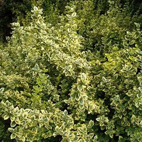 3 x Euonymus Fortunei 'Emerald 'N Gold'- Fusain 'Emerald 'n Gold' 15-20 cm en conteneur