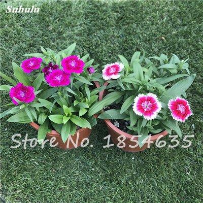 Inde importation Œillets Seed Dianthus caryophyllus Embellir et de purification d'air bricolage jardin Plantation maman cadeau 120 Pcs 3