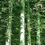 40 piezas de un paquete de semillas de bambú Moso gigante fresco para la plantación de jardines de...