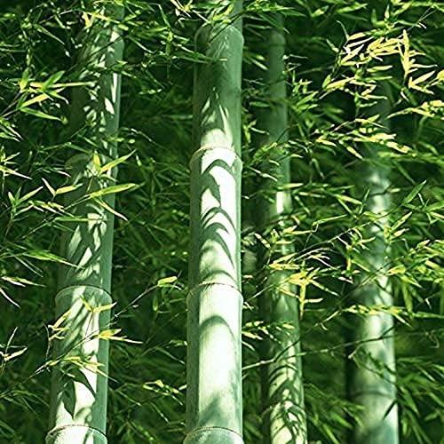 40 piezas de un paquete de semillas de bambú Moso...