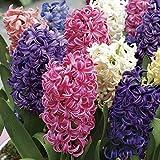 10 X Hyacinthus orientalis MIX - Giacinti Profumati misti - Ø Superiore 17/18-18/19 (10)