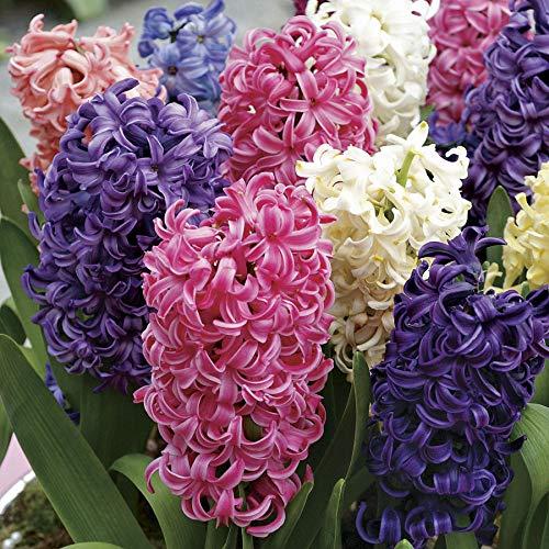 25 X Hyacinthus orientalis MIX - Giacinti Profumati misti - Ø Superiore 17/18-18/19 (25)