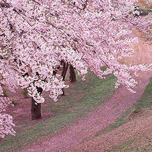 Ncient 20/50pcs/Sac Graines Semences de Sakura, Fleur de Cerisier Bonsaï Seed Plantes Vivaces Graines à Planter Rare Bonsaï Balcon Décor Plante
