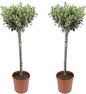 Plantas de interior de Botanicly – 2 × Olivo – Altura: 80 cm – Olea europeae