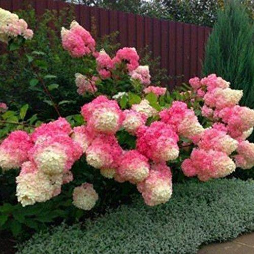 Yukio Samenhaus - 20 Stück Freiland-Hortensie winterhart mehrjährig Blumensamen Bauernhortensie Hydrangea macrophylla Gartenhortensien (1)