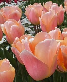Apricot Beauty Tulip 10 Bulbs - Early Blooming - 12/+ cm Bulbs