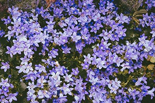 Campanula poscharskyana, Hängepolsterglocke blau 50 Samen, Polsterglockenblume