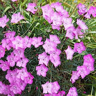 Outsidepride Dianthus - Cheddar Pink