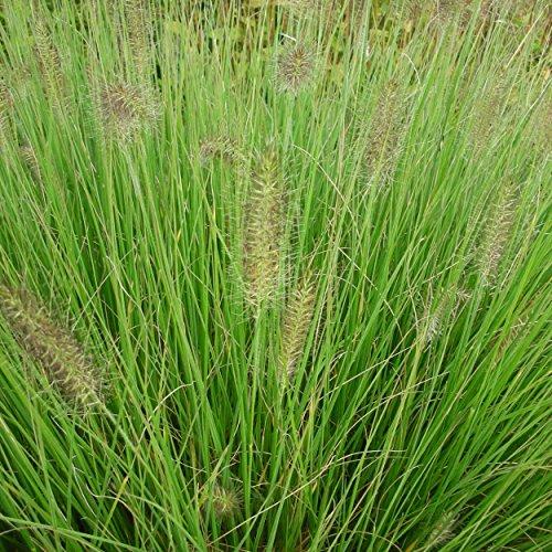 Blumixx Stauden Pennisetum alopecuroides 'Hameln' - Lampenputzergras, im 0,5 Liter Topf, gelb bräunlich blühend